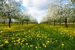 Dandelions w czereśniowym sadzie Obraz Stock