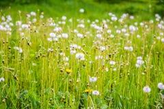 Dandelions w polu Fotografia Royalty Free