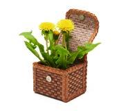 Dandelions w pudełku fotografia stock