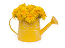Dandelions in a watering can Royalty Free Stock Image