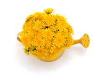 Dandelions in a watering can Stock Photos