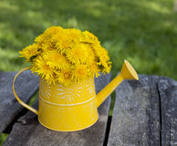 Dandelions in a watering can Royalty Free Stock Images