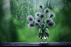Dandelions in white vase. On the window Royalty Free Stock Images