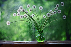 Dandelions in white vase on the. Window Royalty Free Stock Photo