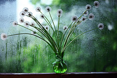 Dandelions in white vase. On the window Stock Image