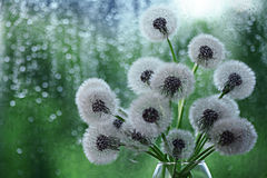 Dandelions in white vase on the window Royalty Free Stock Photos
