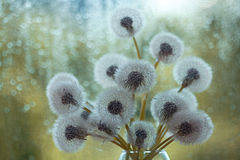 Dandelions in white vase on the window Royalty Free Stock Image