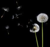 dandelions wiatr obrazy royalty free