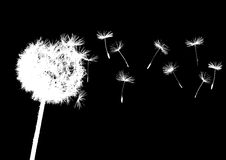 Dandelions in wind. On dark background Royalty Free Stock Photos