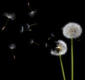 Dandelions in the wind