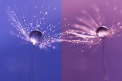 Free Dandelions With Dew Drops On A Double Backdrop . Macro Of A Dandelion On Purple And Blue Background. Royalty Free Stock Photos - 98162158