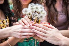 Dandelions in women's hands Royalty Free Stock Photos