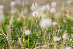 Dandelions in the yard Royalty Free Stock Photography