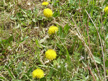 Dandelions. Yellow dandelions blooming under the rays of the gentle sun Stock Images