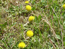 Dandelions. Yellow dandelions blooming under the rays of the gentle sun Stock Photography