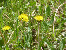 Dandelions. Yellow dandelions blooming under the rays of the gentle sun Stock Photos