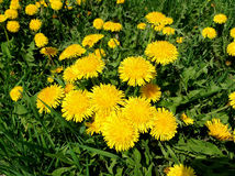 Dandelions. Yellow dandelions with green leaves Stock Images