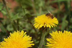 Blooming bright dandelions, yellow with green leaves and bee in natural conditions. Close-up. Dandelions yellow with green leaves and bee closeup im natural royalty free stock image