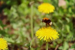 Blooming bright dandelions, yellow with green leaves and bumblebee in natural conditions. Close-up. Dandelions yellow with green leaves and bumblebee closeup im stock photos