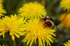 Blooming bright dandelions, yellow with green leaves and bumblebee in natural conditions. Close-up. Dandelions yellow with green leaves and bumblebee closeup im royalty free stock photo