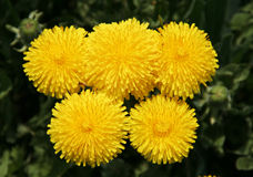 Dandelions yellow Royalty Free Stock Photography