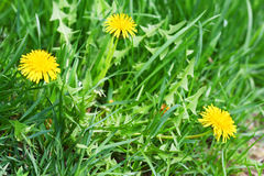 Dandelions Stock Images
