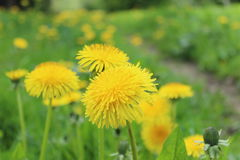 Dandelions. Yellow dandelions in summer day Royalty Free Stock Photo