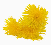 Dandelions. Yellow dandelions on a white background Stock Photography