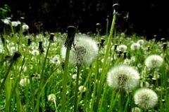 Dandelions z zielonym tłem 9 zdjęcie stock