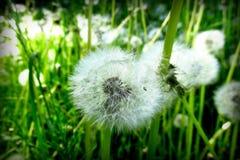 Dandelions z zielonym tłem 2 obrazy royalty free