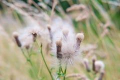 Dandelions zakończenie Fotografia Stock