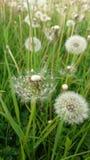Dandelions zamykaj? w g?r? zielonego wiosny pola w fotografia stock