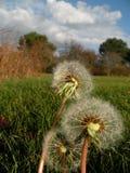 dandelions ziarno zdjęcie stock