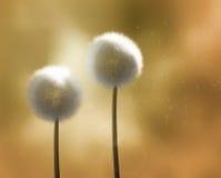 dandelions złota wiatr Zdjęcie Royalty Free