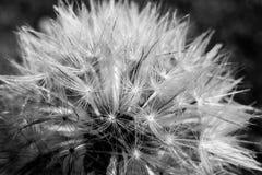 Dandelium i svartvit abstrakt makro Arkivfoto