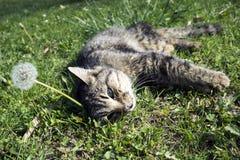 Dandellion com gato Imagem de Stock