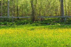 Dandellion field. In meadows old fence in background Royalty Free Stock Images