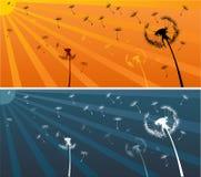 Dandellion summer. Dandellions in the sunset light Royalty Free Stock Photos