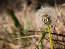 Dandelions, Taraxacum in the forrest stock photography