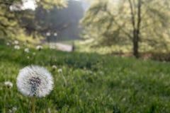 Dandeloin in Central Park spring Stock Images