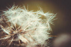 Danderlion. A macro shot with the dandelion Royalty Free Stock Photography
