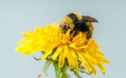 Free Dandi Bumble Bee Royalty Free Stock Photo - 148670155