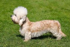 Dandie Dinmont狗在庭院里 免版税库存图片