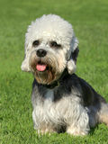 Dandie Dinmont Terrier on a green grass lawn stock image