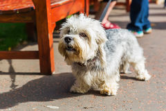 Dandie Dinmont Terrier at the leash Stock Images