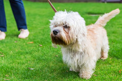 Dandie Dinmont Terrier at the leash Stock Image