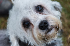 Dandie Dinmont Terrier looking up at camera Royalty Free Stock Photos