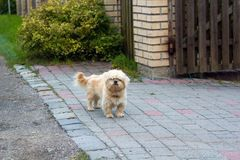 Dandie Dinmont Terrier near house stock image