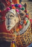 Dandified camel during camel festival. In Jaisalmer, India Stock Photography
