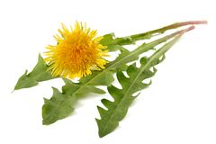 Dandilion Stock Photo